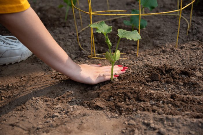 Planting a seedling in the dirt